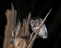 March Break Owl Prowl